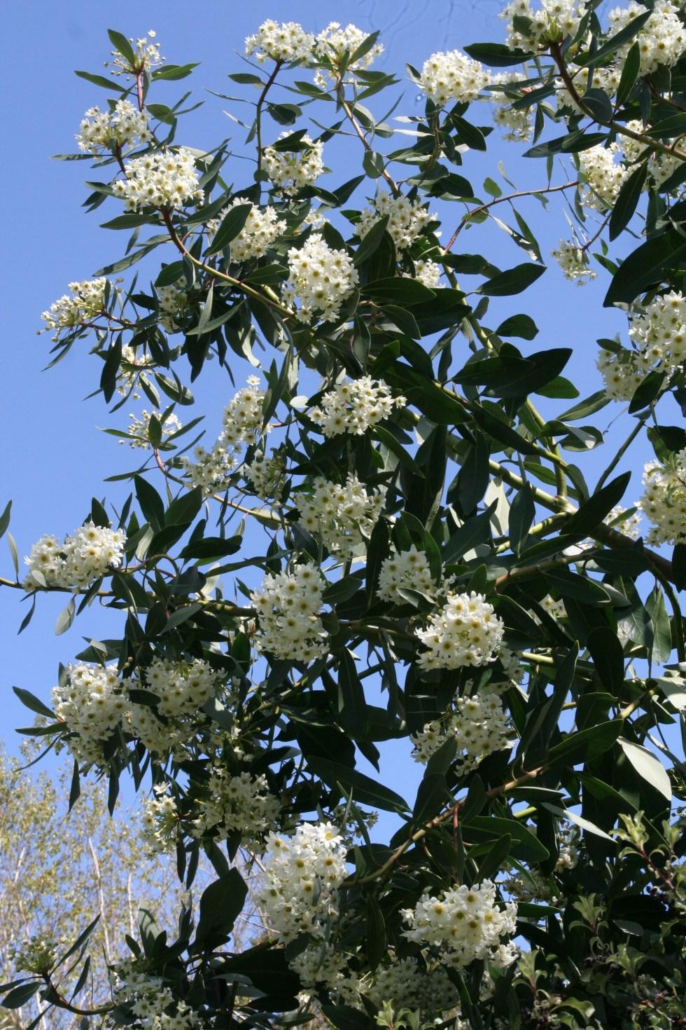 drimys winteri Plant of the week  Drimys winteri