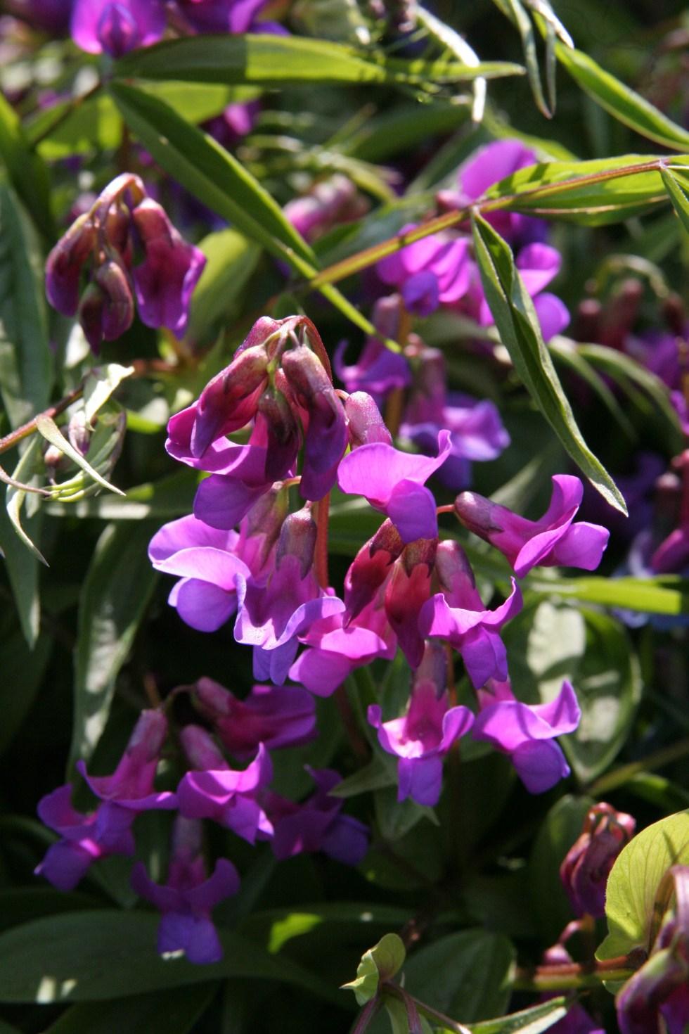 lathyrus vernus1 Plant of the week  Lathyrus vernus