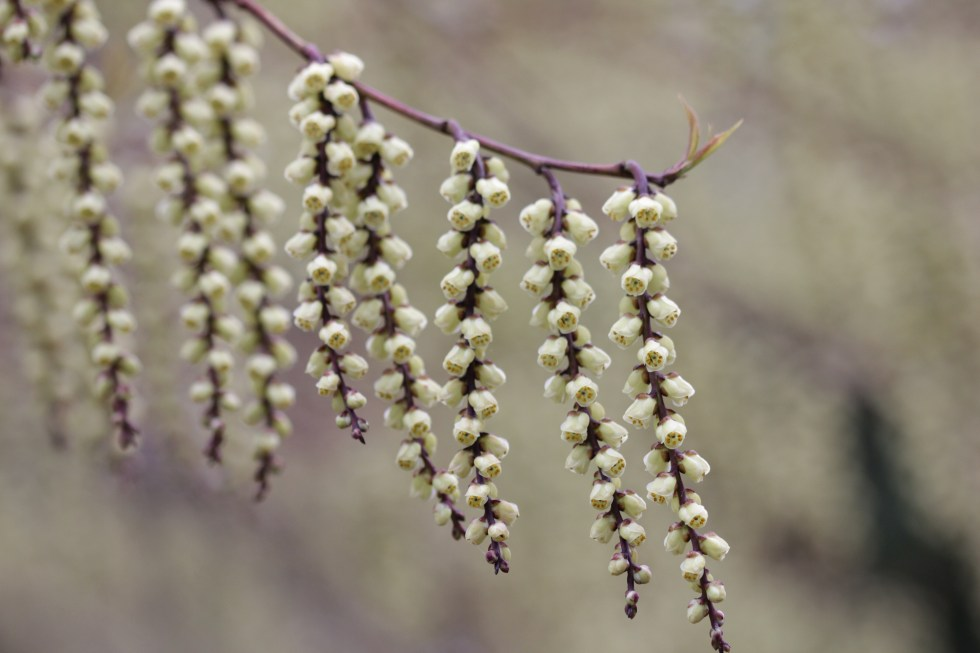stachyurus praecox 4 Plant of the week  Stachyurus praecox
