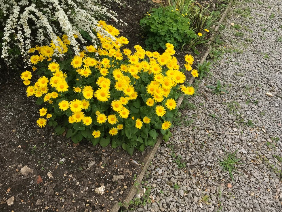 img 2672 Plant of the week Doronicum 'Miss Mason'