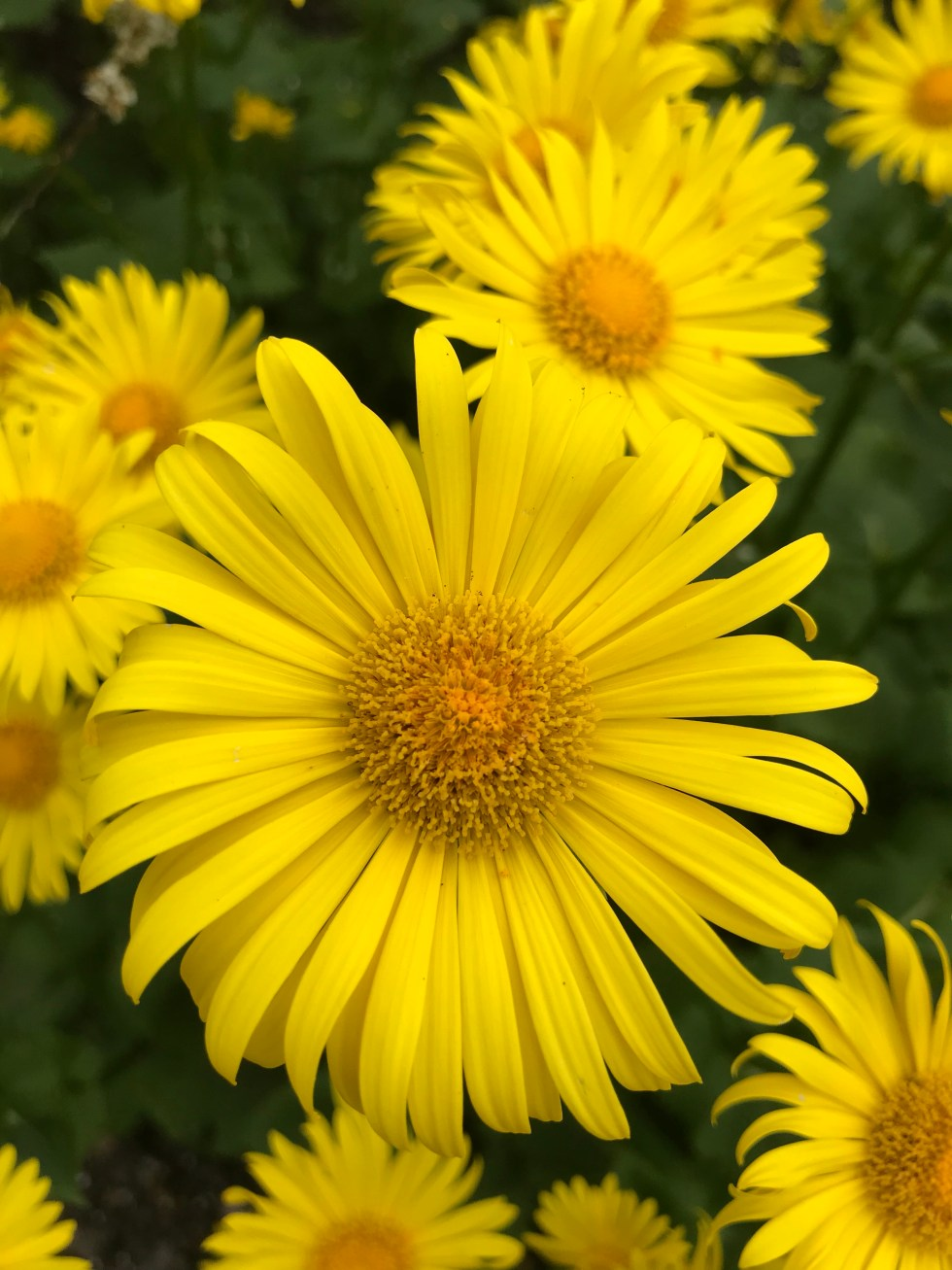img 2674 Plant of the week Doronicum 'Miss Mason'