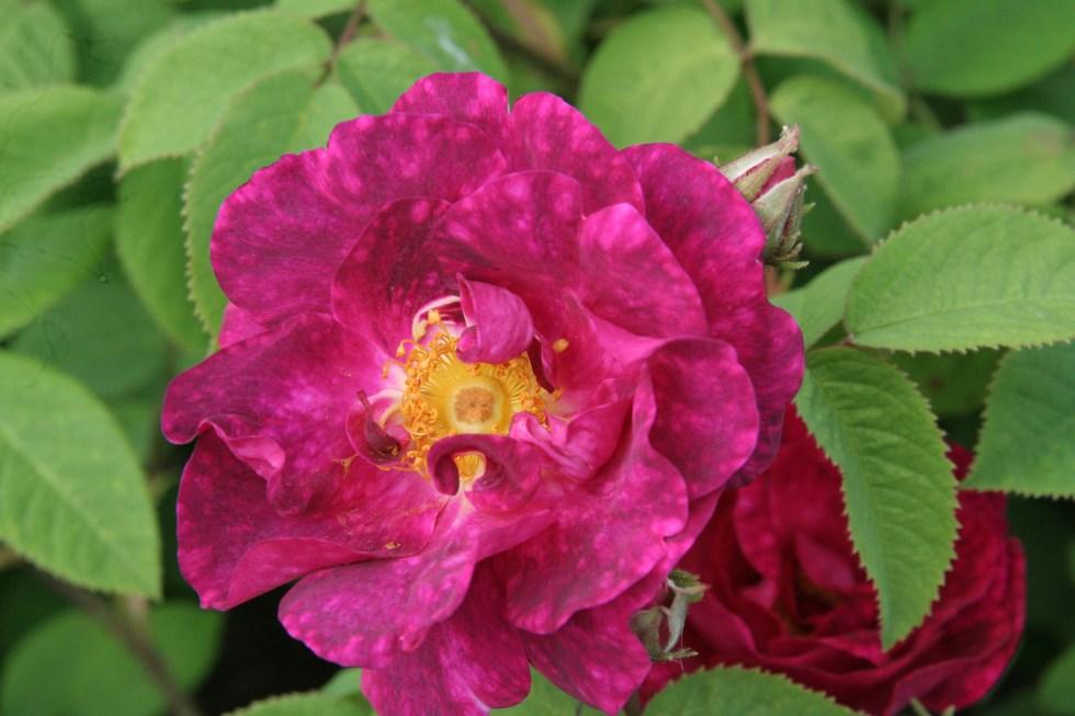 alain blanchard1 Gallica roses, forgotten gems