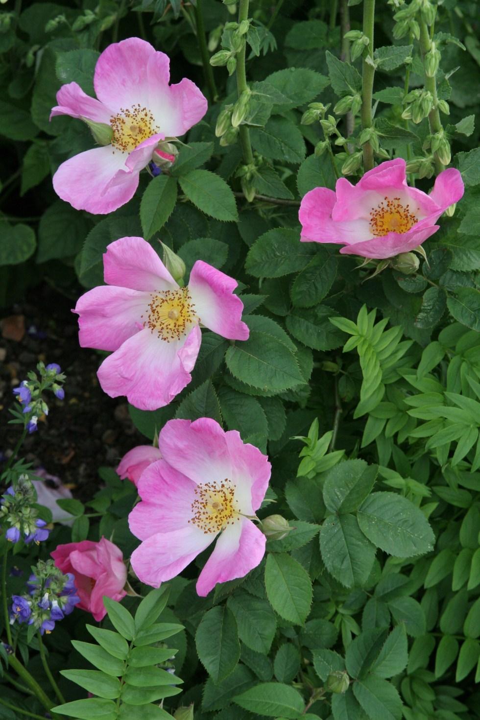 complicata Gallica roses, forgotten gems