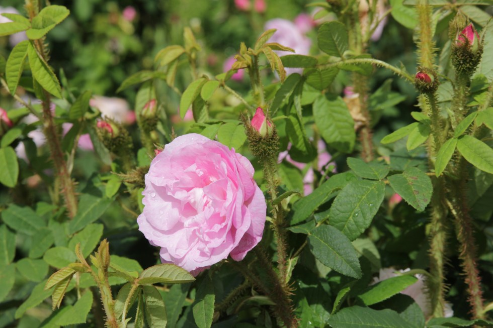 general kleber 3 The glory of the moss roses