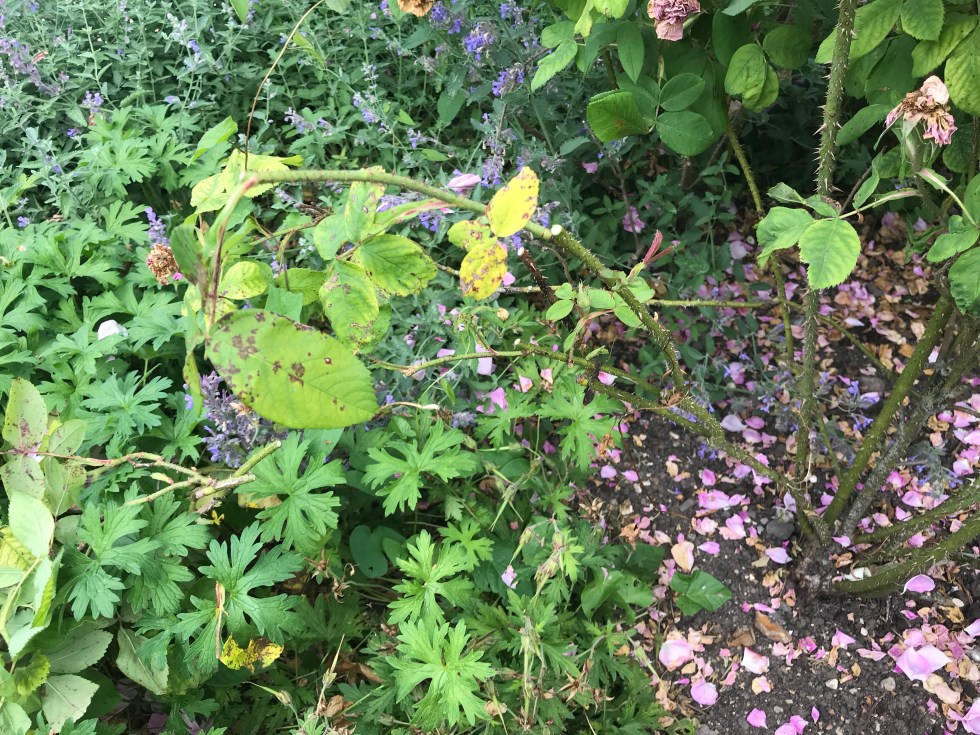 img 3035 Dead heading and summer pruning on roses