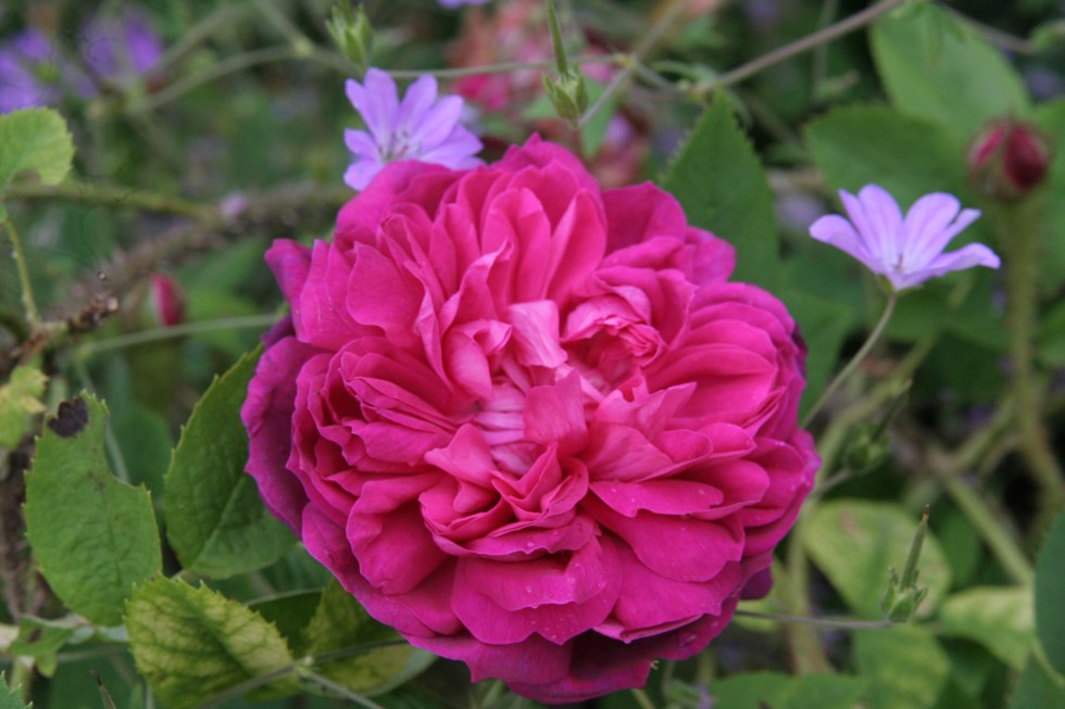 james veitch The glory of the moss roses