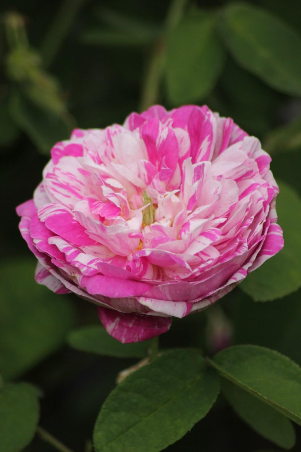 rosa camuyeux Gallica roses, forgotten gems