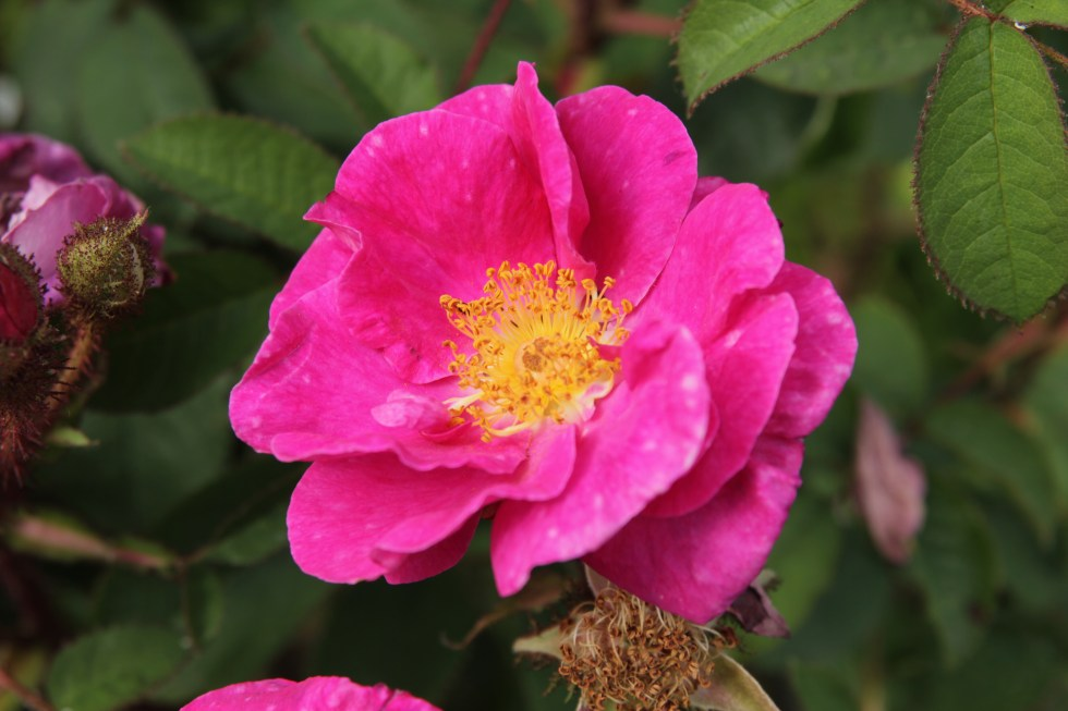 rosa celina  The glory of the moss roses