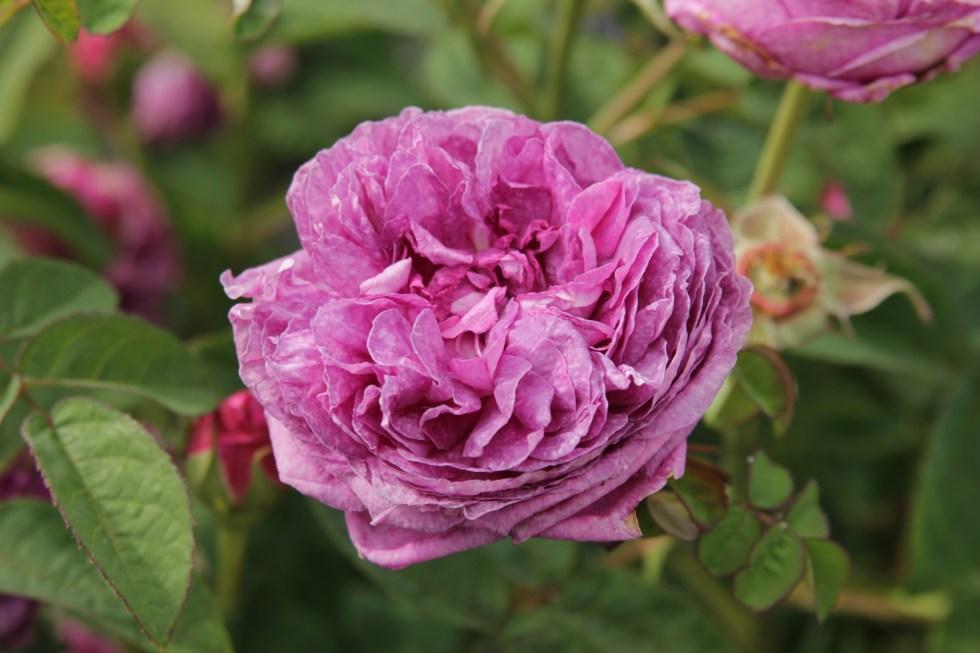 rosa cosimo ridolfi  Gallica roses, forgotten gems
