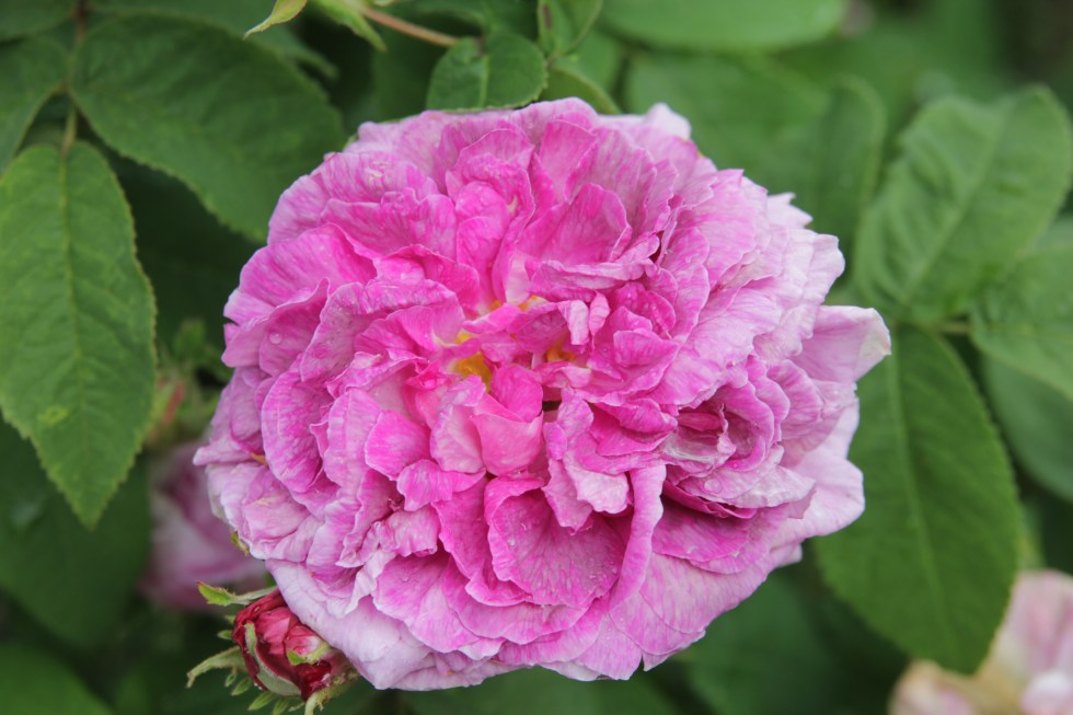 rosa president de seze 3 Gallica roses, forgotten gems