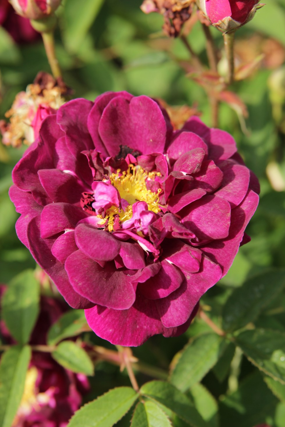 rosa tuscany3 Gallica roses, forgotten gems