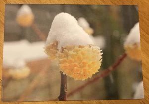 1sKHxJDzSzeBOpTCxMEmPg e1545114726306 300x211 blank greeting Card featuring Edgeworthi chrysantha Grandiflora