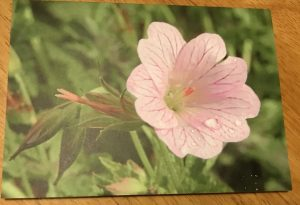 JClu09xaRc6znOhUrc0GQ e1545204606103 300x205 Blank greeting card  Geranium x oxonianum Walters Gift