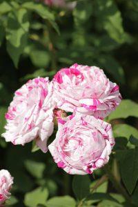 Rosa variegata di Bologna  e1544479094414 200x300 Rosa Varigatata di Bologna