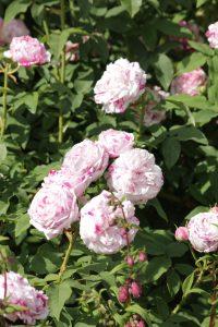 Rosa variegata di Bologna3 e1544479139505 200x300 Rosa Varigatata di Bologna