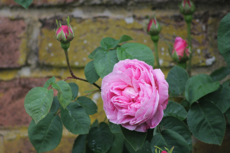 rosa constance spry 1024x683 Six on Saturday 22nd of December 2018