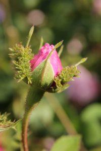 rosa cristata2 e1544594173337 200x300 Rosa x centifolia Cristata
