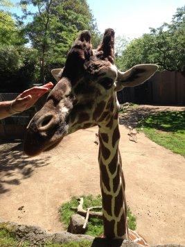 Petting Giraffe
