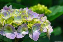 Hortensie / Hydrangea / 紫陽花 (Shinjuku Gyoen / 新宿御苑)