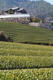 Ishitera Tea Plantation (石寺の茶畑)