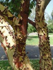Des arbres qui pelent !