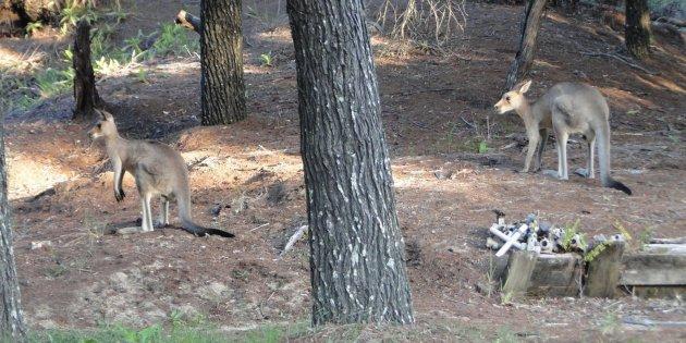 Kangaroos in the campsite