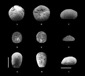Rare echinoids from Hauterivian deposits of the Paris basin