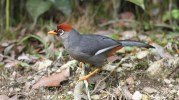 Chestnut capped laughingthrush