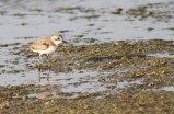 Woestijnplevier / Greater sandplover