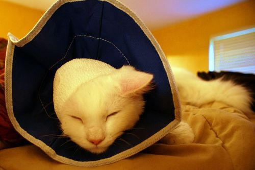 Katze. Quelle: https://commons.wikimedia.org/wiki/File:Cat_with_soft_Elizabethan_collar.jpg