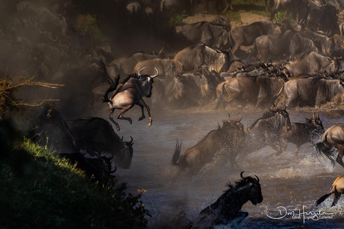 wildebeest jumps into mara river tanzania
