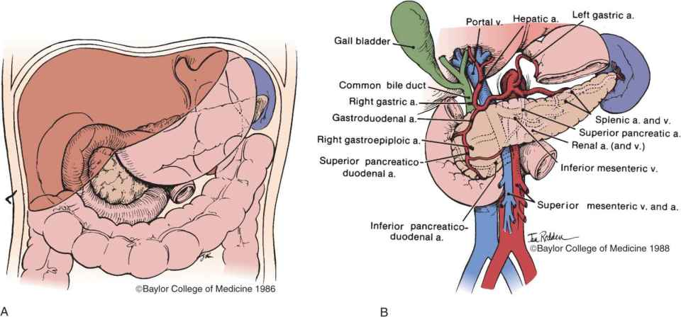 Duodenum and Pancreas | Thoracic Key