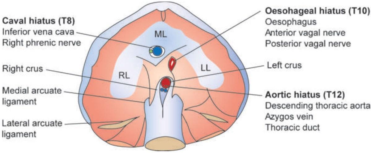 Thoracic Anatomy Thoracic Key