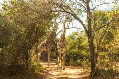 thornwood-giraffes-in-road