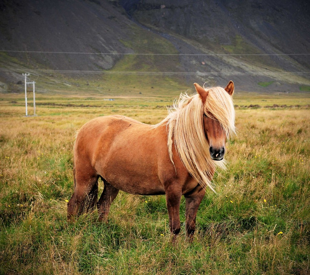 Image result for images Icelandic horses