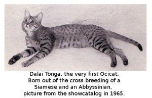 The first Ocicat
