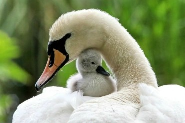 swan-white-baby-and-mother-mum-swanling-green