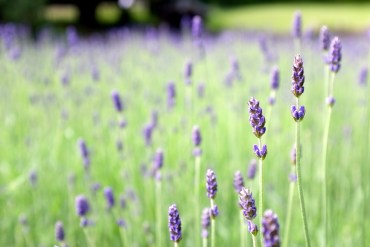 lavendar-field-green-purple-pretty-nature-landscape-plants-flowers