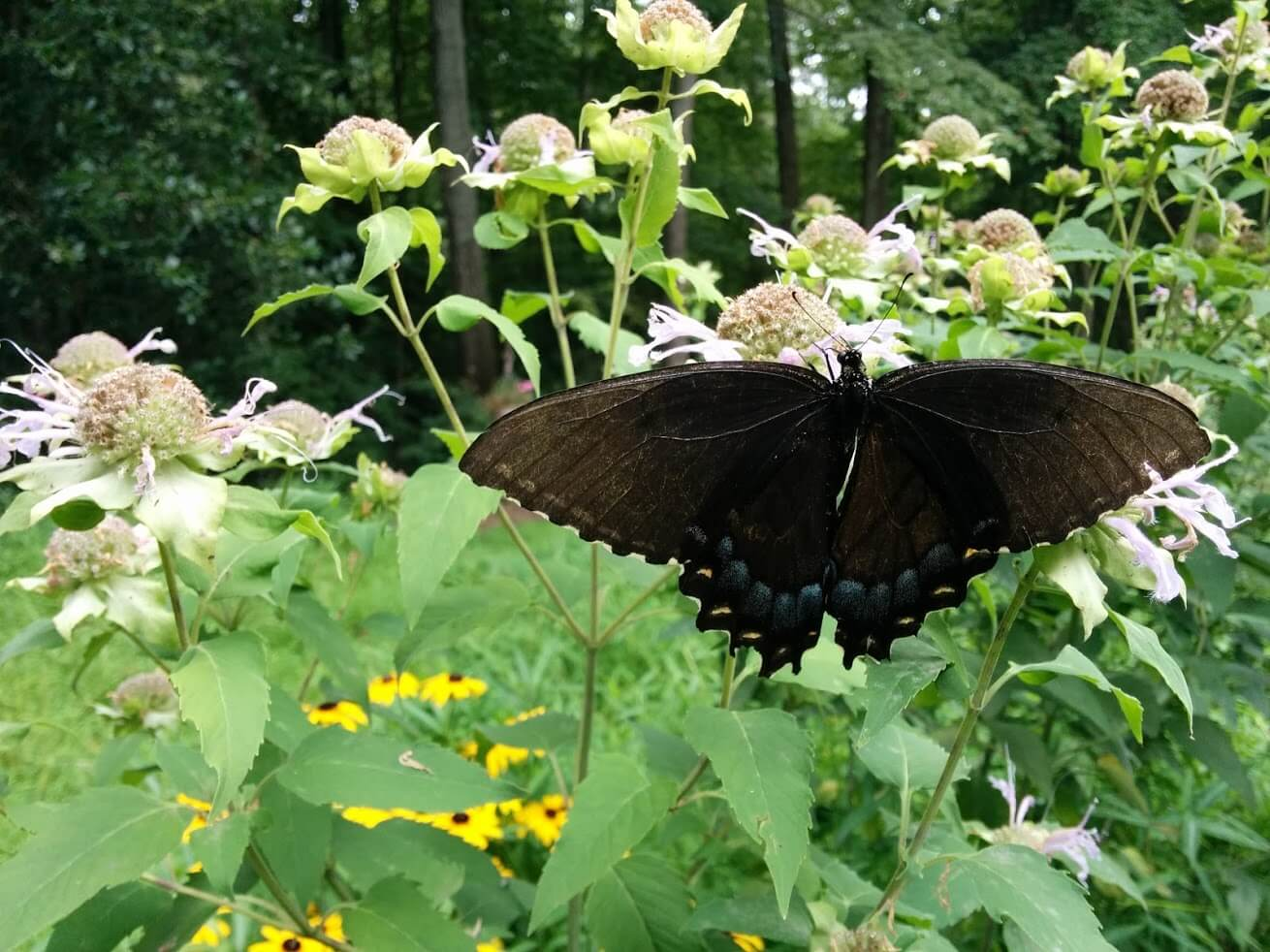 A butterfly on a flower in our yard in Reston, VA.