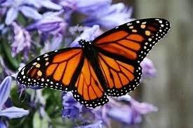 monarchbuterfly