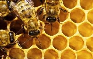 abelhas-apicultura