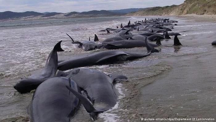 baleia-piloto-encalhe-nova-zelandia