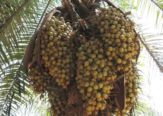 macauba-do-cerrado-acrocomia-aculeata-frutos
