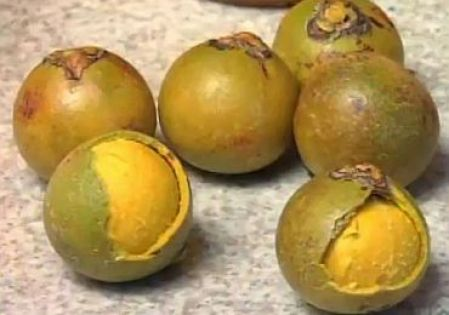 macauba_fruit