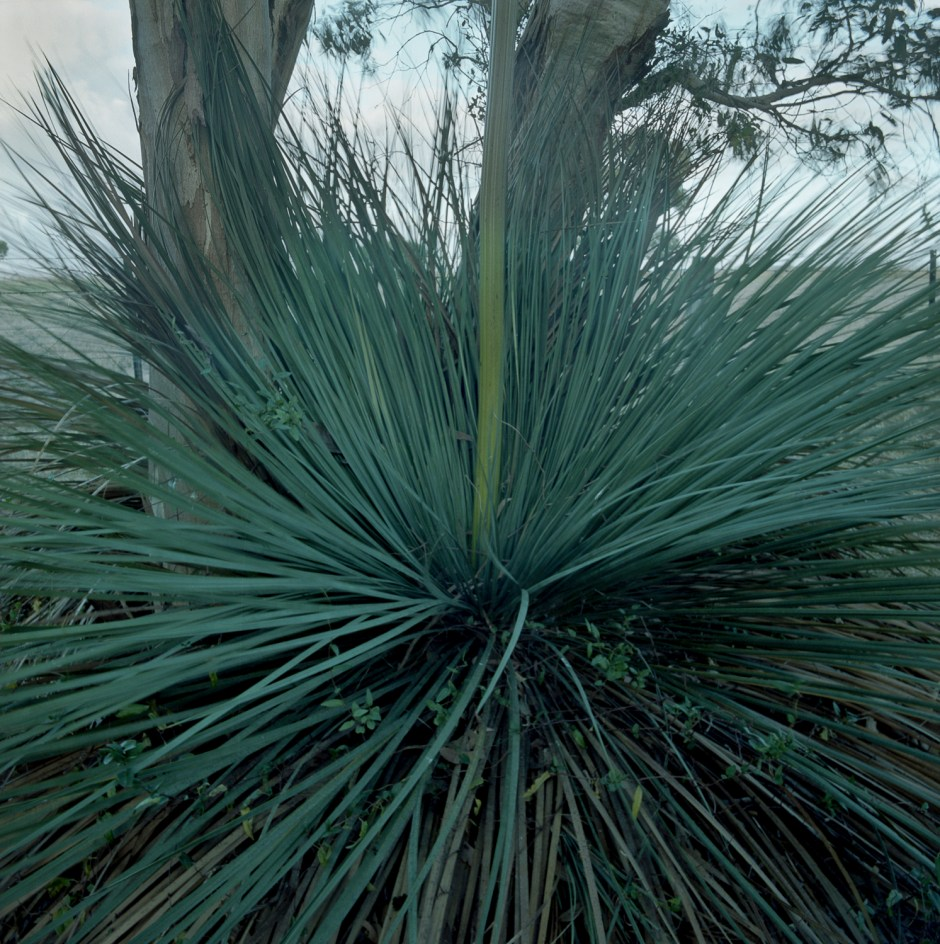 grass tree + pink gum
