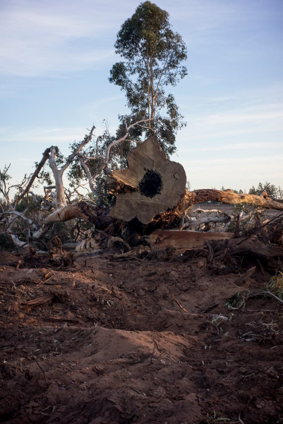 felled trees, Ouyen