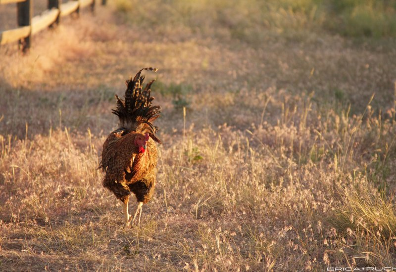 The rooster that appeared out of nowhere and was trying to attack me