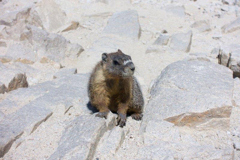 Sneaky Mt Whitney marmot