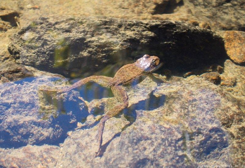 The endangered Sierra Nevada Yellow-Legged Frog
