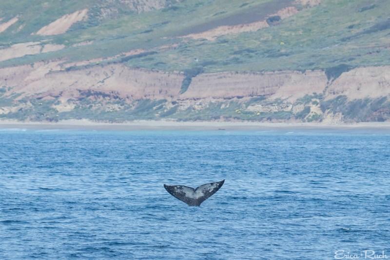 Gray Whale off Santa Cruz Island